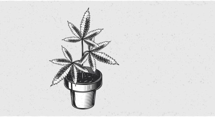 En cannabisplante